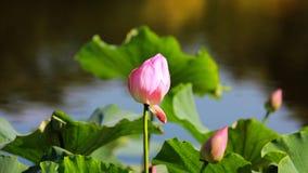 красивейший лотос Стоковое Фото