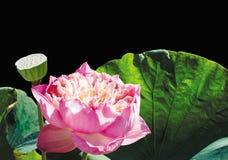 красивейший лотос Стоковая Фотография