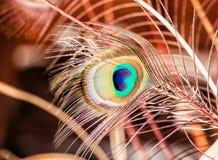 красивейший павлин пера стоковое фото rf