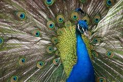 Красивейший павлин Стоковые Фото