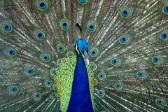 красивейший павлин Стоковое Фото
