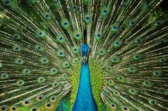 красивейший павлин Стоковая Фотография