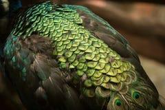 красивейший павлин Стоковая Фотография RF