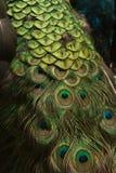 красивейший павлин Стоковые Фотографии RF