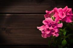красивейший пинк петуньи Стоковое Изображение RF