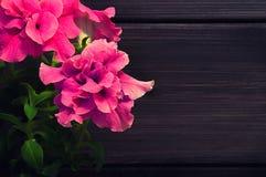 красивейший пинк петуньи Стоковая Фотография RF