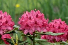 красивейший пинк сада цветков Стоковая Фотография