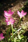 красивейший пинк сада цветков Лилия дождя стоковое фото rf