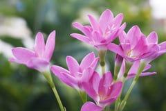 красивейший пинк сада цветков Лилия дождя Стоковые Фото