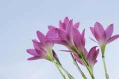 красивейший пинк сада цветков Лилия дождя Стоковые Фотографии RF