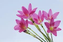 красивейший пинк сада цветков Лилия дождя стоковое изображение