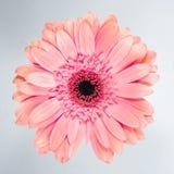 красивейший пинк хризантемы стоковые фото