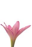 красивейший пинк цветка Стоковые Фотографии RF