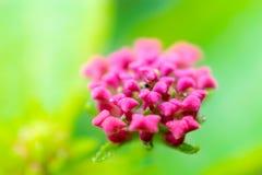 красивейший пинк цветка Стоковое Изображение RF