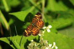 красивейший помеец бабочки Стоковая Фотография