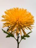 красивейший помеец хризантемы стоковая фотография rf
