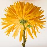 красивейший помеец хризантемы стоковые изображения rf