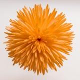 красивейший помеец хризантемы стоковые фото