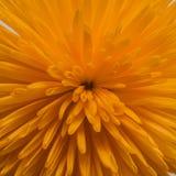 красивейший помеец хризантемы стоковые изображения