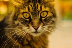 красивейший портрет кота Стоковое Изображение
