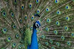 красивейший портрет павлина Стоковое Изображение
