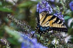 красивейший порхать бабочки Стоковое Фото