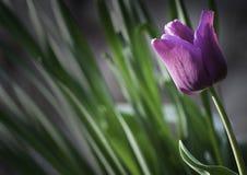 красивейший пурпуровый тюльпан Стоковое Фото