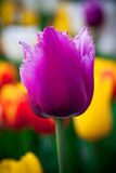 красивейший пурпуровый тюльпан Flowerbackground, gardenflowers Цветок сада абстрактная вертикаль предпосылки Стоковые Фотографии RF