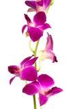 красивейший пурпур орхидеи Стоковое Изображение RF