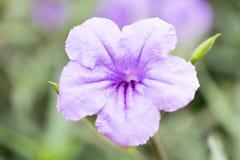 красивейший пурпур цветка Стоковые Изображения