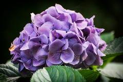 красивейший пурпур цветка Стоковое Изображение RF