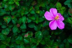 красивейший пурпур цветка Стоковая Фотография RF