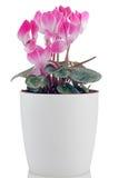 Красивейший розовый цветок Cyclamen Стоковые Изображения