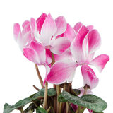 Красивейший розовый цветок Cyclamen Стоковая Фотография RF