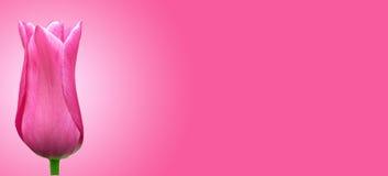 красивейший романский тюльпан Стоковая Фотография