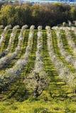 Красивейший сад яблока Стоковые Изображения