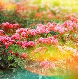 Красивейший сад роз лето сада цветков цветения винтажный стиль тонизировал pict Стоковые Фотографии RF