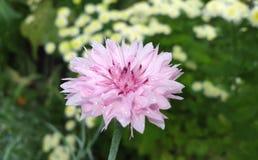 красивейший сад цветков Предпосылка цветка лета Стоковая Фотография RF