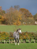 красивейший светлый пони welsh Стоковые Фотографии RF