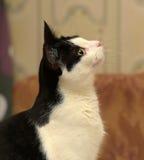 Красивейший светотеневой кот Стоковые Изображения