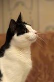 Красивейший светотеневой кот Стоковое Изображение