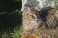 красивейший серый цвет кота стоковая фотография rf