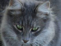 красивейший серый цвет кота Стоковые Фото