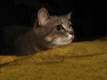 красивейший серый цвет кота closeup Стоковые Фотографии RF