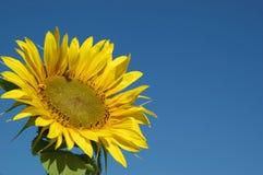 красивейший солнцецвет голубого неба Стоковое фото RF