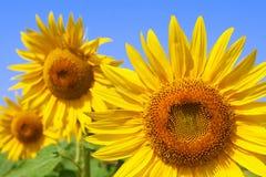 красивейший солнцецвет пчелы Стоковые Изображения RF