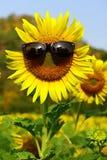 красивейший солнцецвет Стоковое Изображение RF