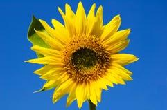 красивейший солнцецвет Стоковая Фотография