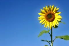 красивейший солнцецвет Стоковая Фотография RF