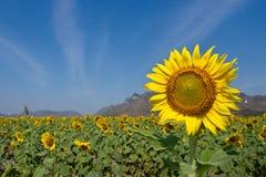 красивейший солнцецвет Стоковые Изображения